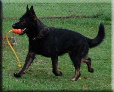Agouti German Shepherd