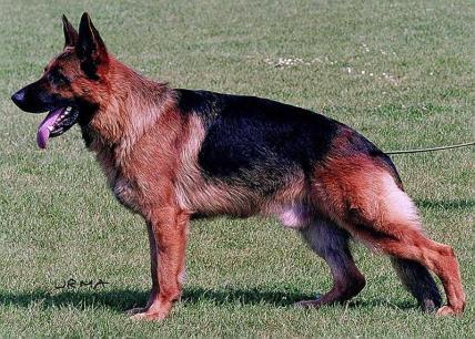 Working German Shepherd Dogs - GSD Colors and Markings