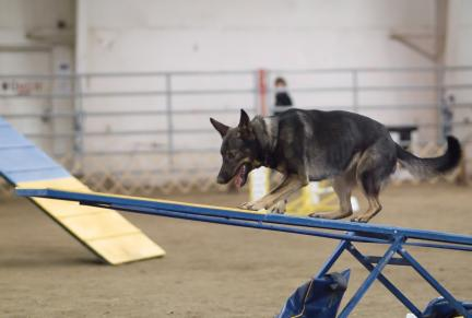 Sable GSD Agility Dog Sea Saw or Teeter Totter Equpiment