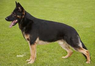 Bi-Colored or Almost Black Marked GSD